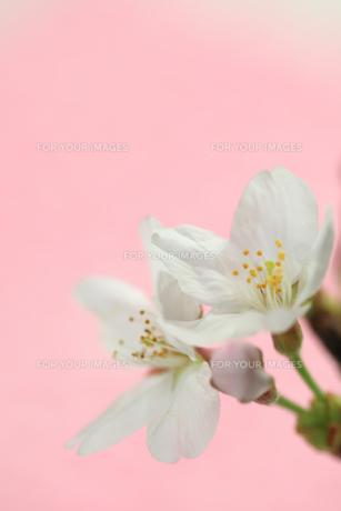 桜の花クローズアップの素材 [FYI00149677]