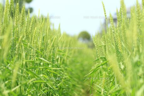 麦畑被の素材 [FYI00149736]