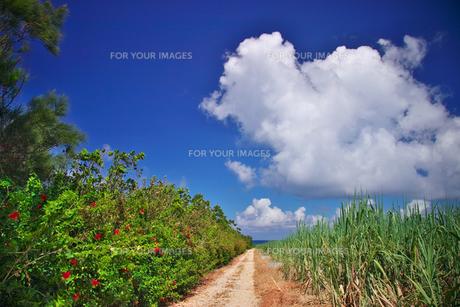 波照間島 サトウキビ畑の道の写真素材 [FYI00149783]