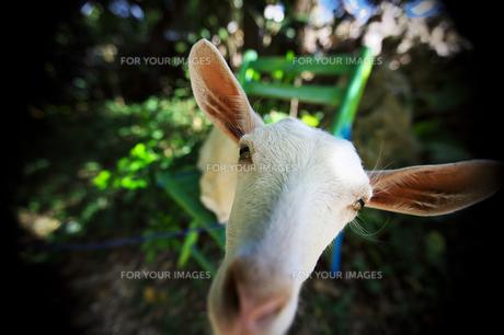 黒島 ヤギの写真素材 [FYI00149807]