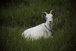 波照間島 草の中のヤギの素材 [FYI00149808]