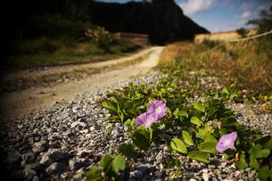 渡名喜島 道ばたの花の写真素材 [FYI00149827]