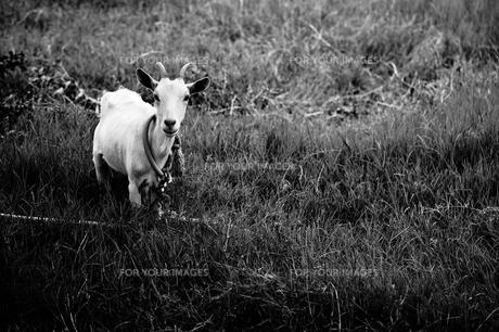 波照間島 草原のヤギの写真素材 [FYI00149869]