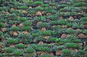 奄美大島 崎原海岸付近のソテツ群落の写真素材 [FYI00149901]