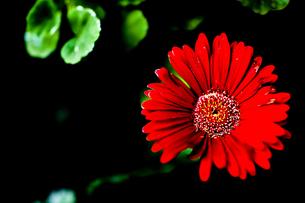 赤い花一輪の素材 [FYI00149978]