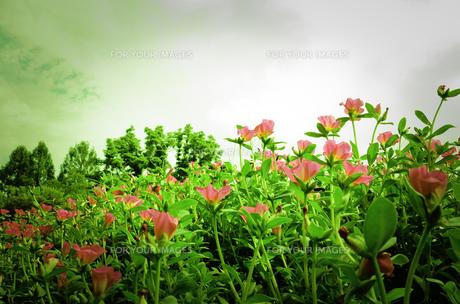 ピンクの花の素材 [FYI00149998]
