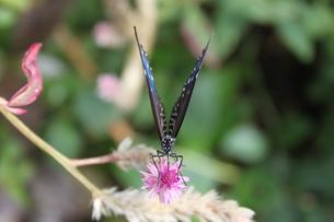ツマムラサキマダラとピンクの花の写真素材 [FYI00150018]