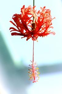 ランタナの花の写真素材 [FYI00150034]