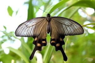 シロオビアゲハの雌の写真素材 [FYI00150037]