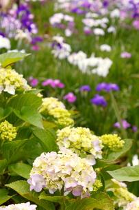 紫陽花と菖蒲の写真素材 [FYI00150042]