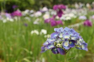 菖蒲田の紫陽花の写真素材 [FYI00150047]