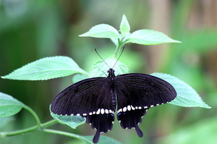 シロオビアゲハ蝶の写真素材 [FYI00150048]