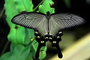 ジャコウアゲハの雌の写真素材 [FYI00150049]