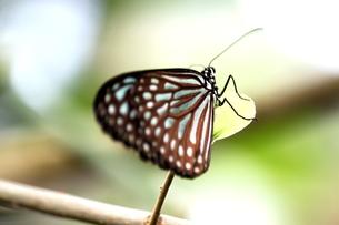 リュウキュウアサギマダラ蝶の写真素材 [FYI00150054]