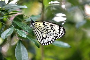 オオゴマダラ蝶の横顔の写真素材 [FYI00150055]