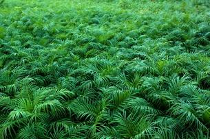 八丈島のビロウ椰子畑の写真素材 [FYI00150076]