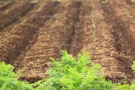 にんじん畑の写真素材 [FYI00150083]
