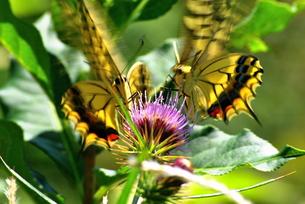 二匹の蝶々の写真素材 [FYI00150145]