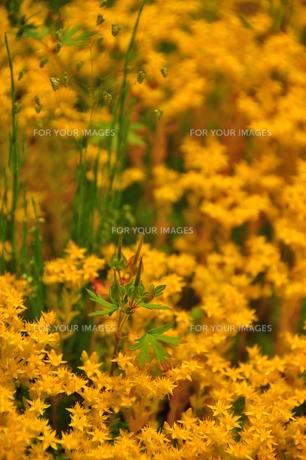 黄色い花に囲まれる葉の写真素材 [FYI00150159]