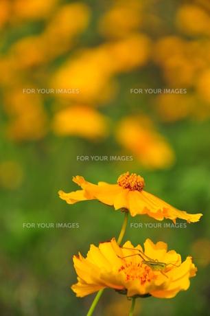 黄色い花とバッタさんの写真素材 [FYI00150166]