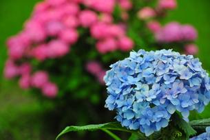 青いあじさい、ピンクのあじさいの写真素材 [FYI00150195]