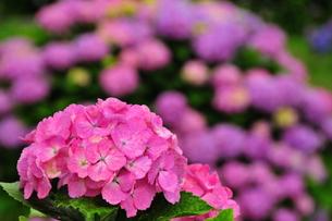 赤紫のあじさいの写真素材 [FYI00150196]