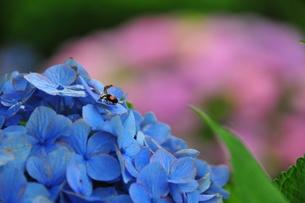 青いあじさいにてんとう虫の写真素材 [FYI00150201]