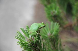 松葉の中の蛙の写真素材 [FYI00150834]