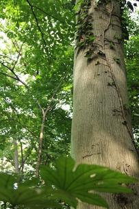木とつたの写真素材 [FYI00150835]