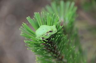 松葉の中の蛙の写真素材 [FYI00150843]