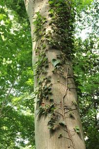 木とつたの写真素材 [FYI00150850]