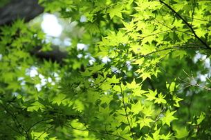 緑のカエデの写真素材 [FYI00150851]