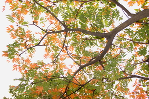 黄色の紅葉の写真素材 [FYI00150960]