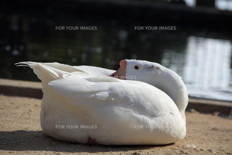 ガチョウの写真素材 [FYI00151000]