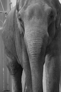 ゾウの写真素材 [FYI00151044]