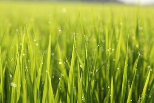 稲穂の水滴の写真素材 [FYI00151254]