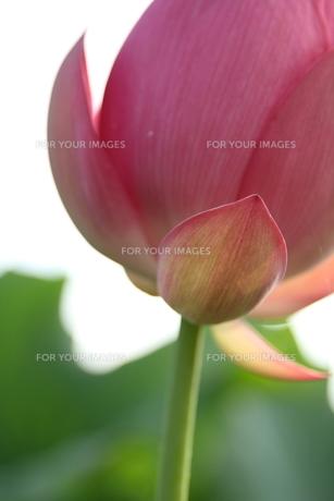 蓮の花の素材 [FYI00151272]