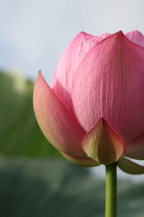 蓮の花の素材 [FYI00151276]