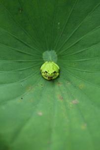 蓮の上のカエルの写真素材 [FYI00151286]