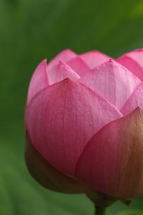 蓮の花の写真素材 [FYI00151289]