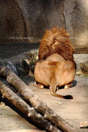 ライオンの写真素材 [FYI00151312]