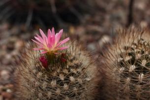 サボテンの花の写真素材 [FYI00151318]