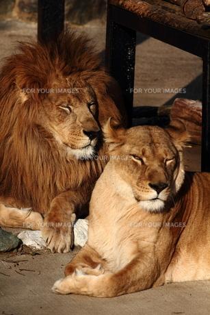 ライオンの素材 [FYI00151324]