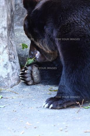 クマの素材 [FYI00151331]