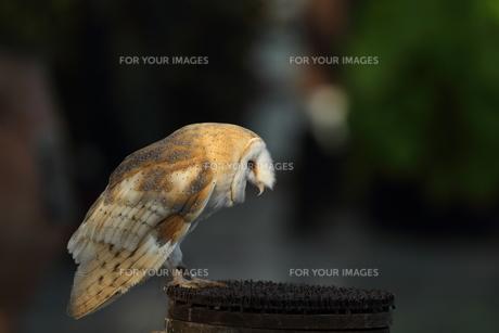 メンフクロウの素材 [FYI00151425]