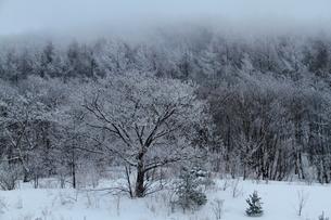 霧に包まれる樹氷の写真素材 [FYI00151466]