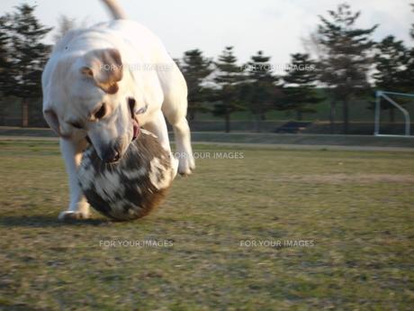 サッカーボールで遊ぶ白い犬の写真素材 [FYI00151533]