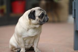 横を見るパグ犬の写真素材 [FYI00151549]