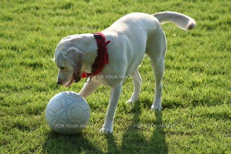 サッカーボールで遊ぶ白い犬の写真素材 [FYI00151578]