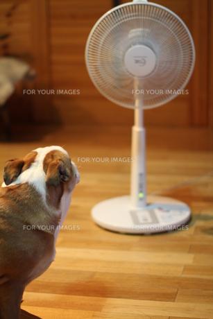 扇風機で涼む茶色の犬の写真素材 [FYI00151582]